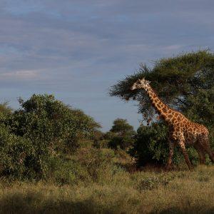 сафари масай мара
